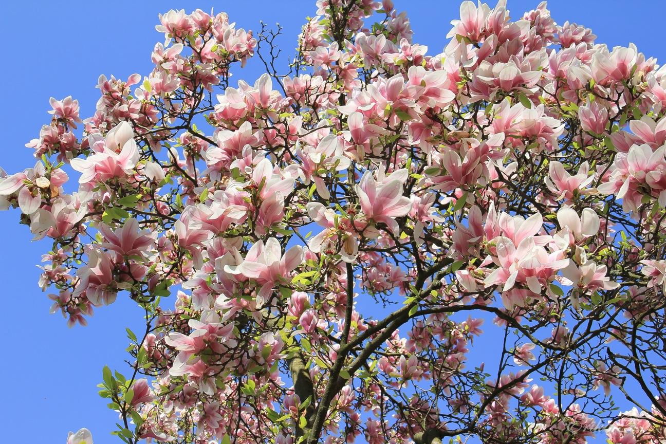 magnolienbaum foto bild pflanzen pilze flechten b ume magnolien bilder auf fotocommunity. Black Bedroom Furniture Sets. Home Design Ideas