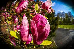 Magnolienbaum im Aprilwetter