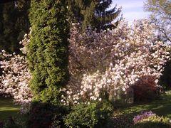 Magnolienbaum in meinem Garten