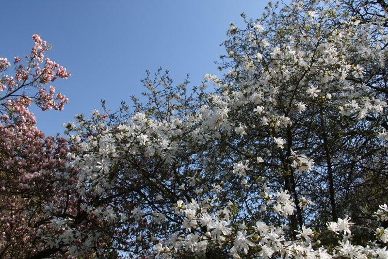 Magnolienblüte 2