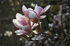 Magnolienblüte ...