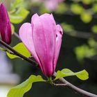 Magnolienblüte... betröpfelt_2