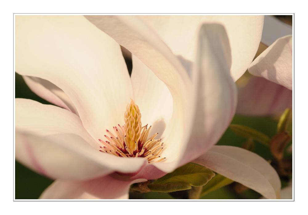Magnolienblüte im Abendlicht