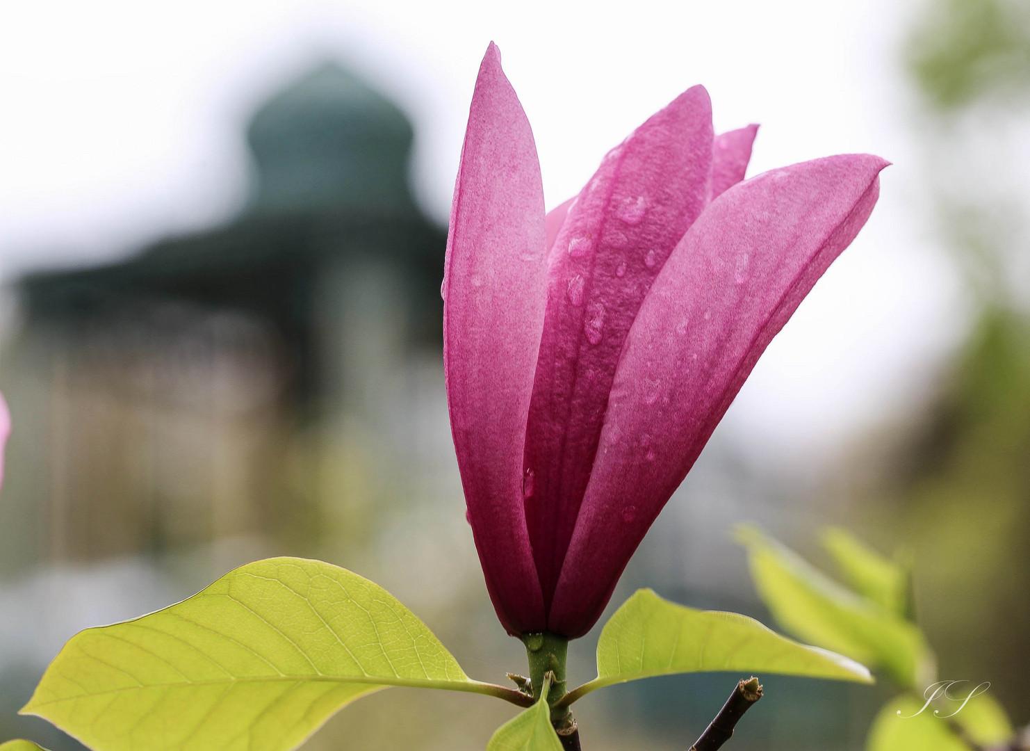 Magnolienblüte...betröpfelt
