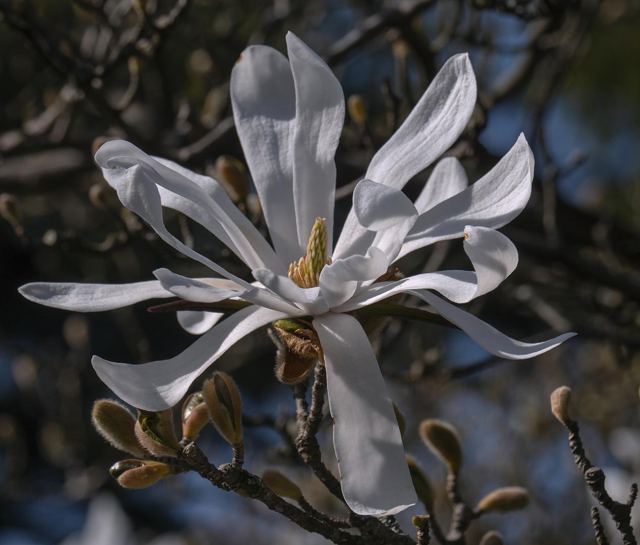 magnolienblütenblätter