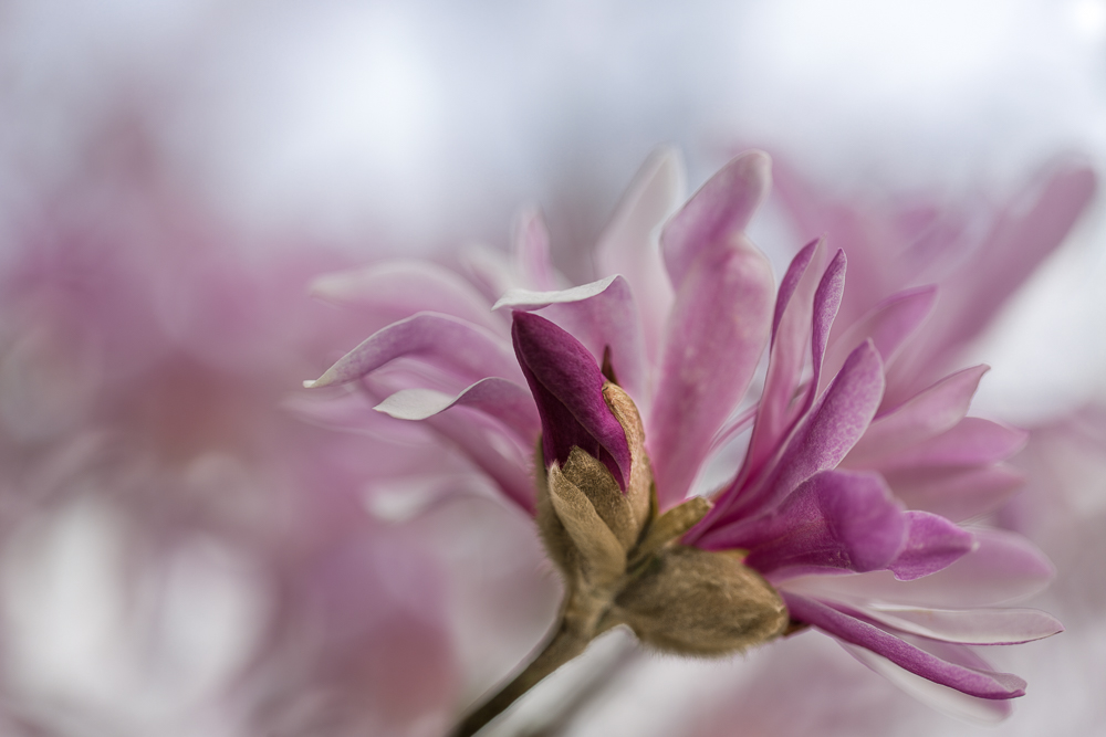 ... Magnolientraum ...