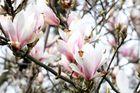 Magnolienzweig in Blüte