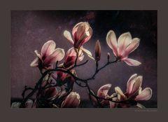 Magnolienzweig in der Abendsonne