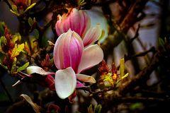 Magnoliien Gruß