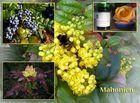 Mahonien-Marmelade - es hat sich gelohnt!