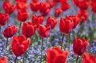 Mai-Tulpen der Wilhelma