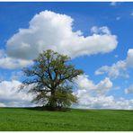 Maibaum- Baum im Mai