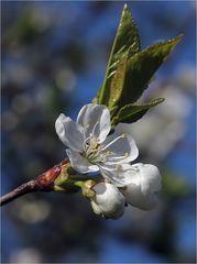 Maiblüten