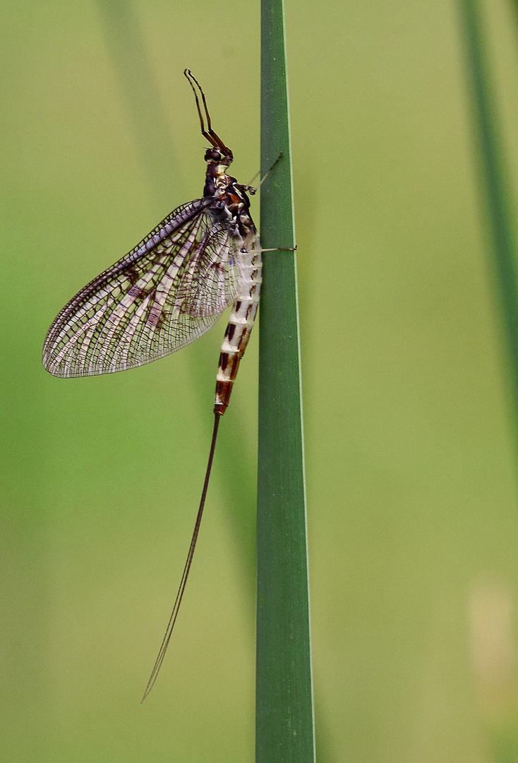 Maifliege Foto & Bild | tiere, wildlife, insekten Bilder auf ...