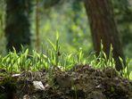 Maiglöckchen - noch ohne Glöckchen - läuten den Frühling ein.