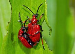 Maiglöckchenhähnchen (Lilioceris merdigera) - Ces coléoptères se soucient de l'avenir.