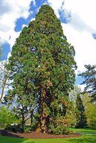 [Mainau 8] *Sequoiadendron giganteum*