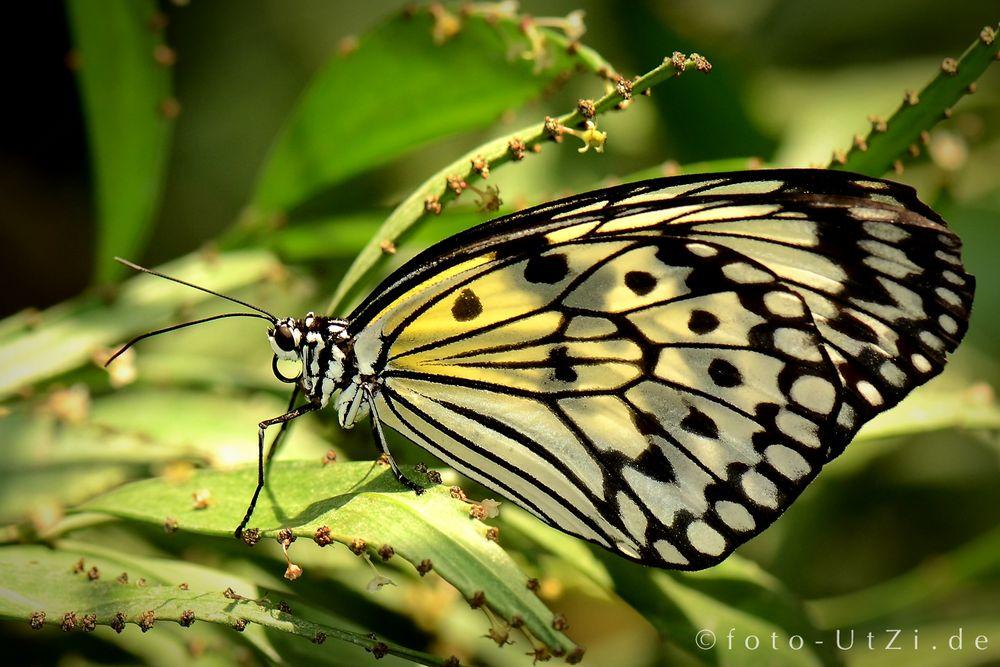 Mainau-Butterfly
