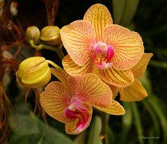 Mainau-Orchideen Ausstellung  2017