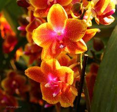 Mainau-Orchideenschau 2017