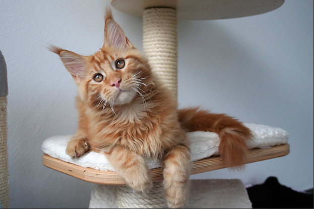 Maine Coon....