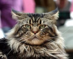 Maine coon ....