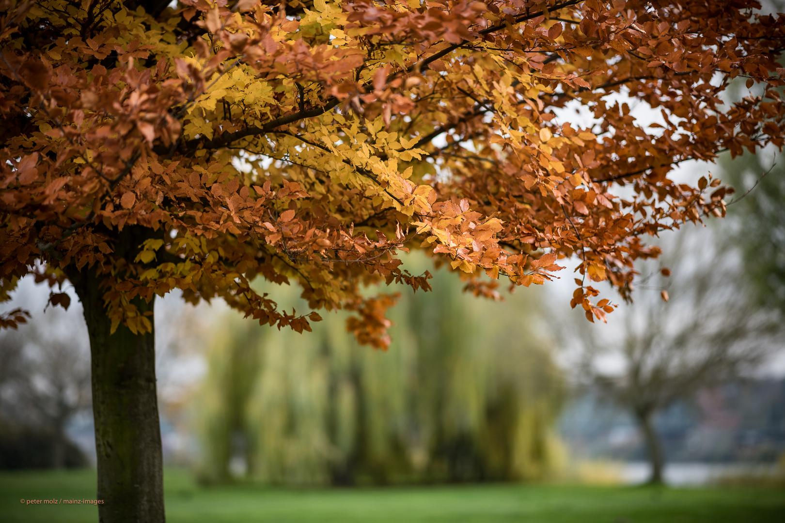 Mainz-Kostheim - November Herbststimmung auf der Maaraue