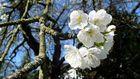 Mainzer Kirschblüte