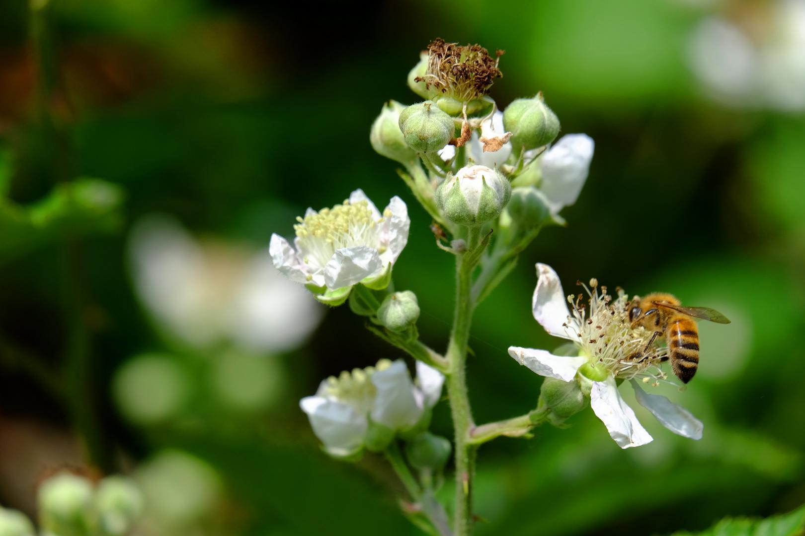 mais ou sont passées nos abeilles