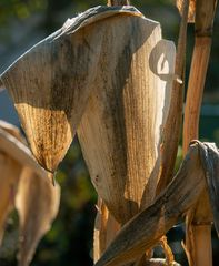 maisblätterröntgen
