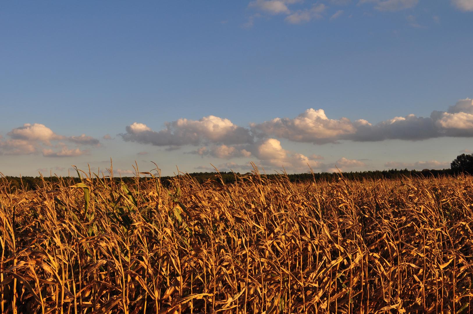 Maisfeld im Herbstlicht
