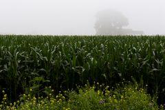 Maisfeld im Nebel