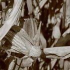 Maisfeld - mal aus der Nähe betrachtet