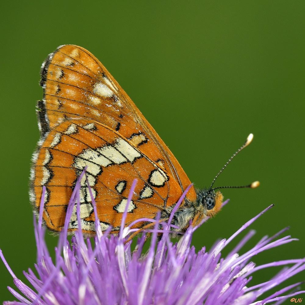 Maivogel (Euphydryas maturna)