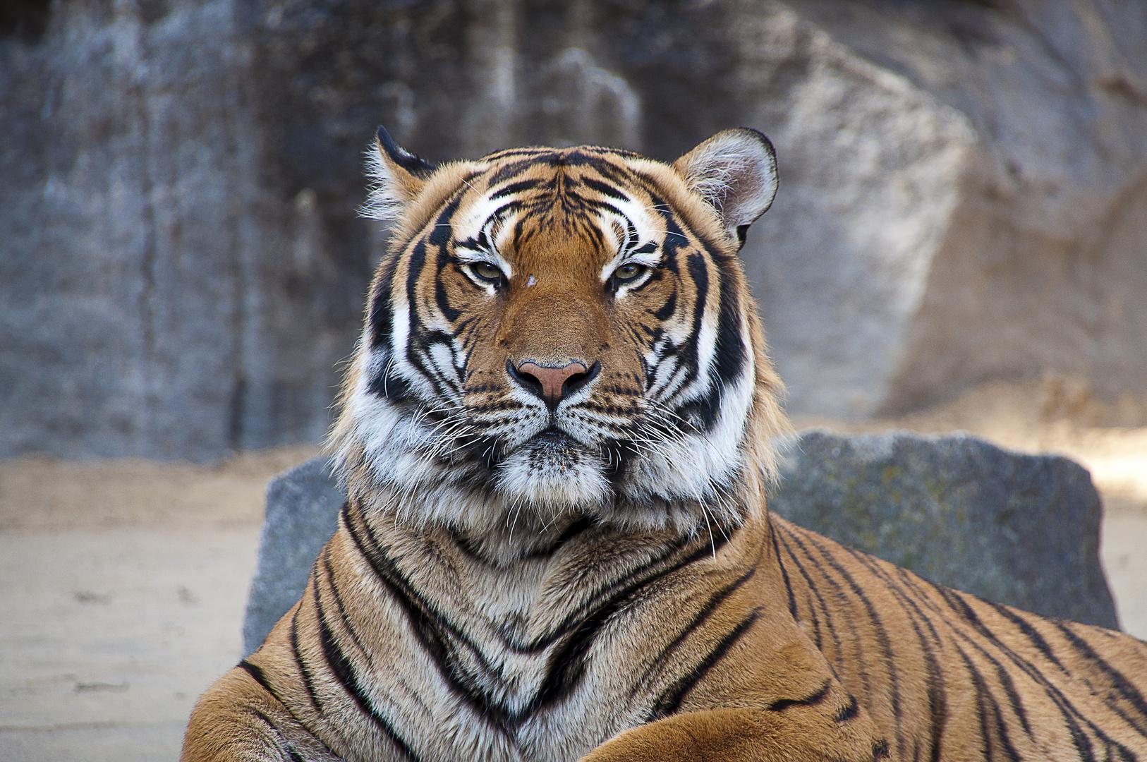 Majestic Tiger