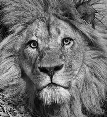 Majetätisch, der König der Tiere....auf die Augen kommt es an...