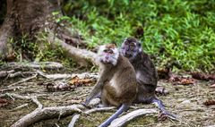 Makakenpaar im Regenwald