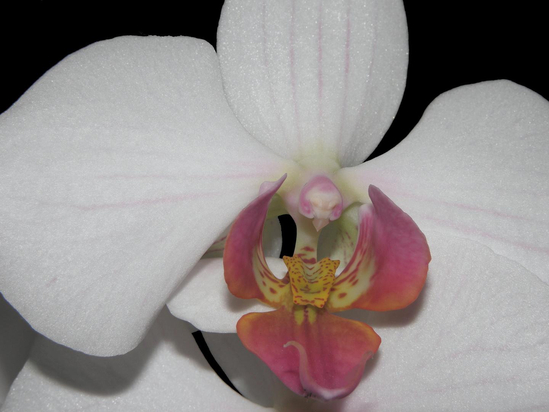 Makellose Orchidee