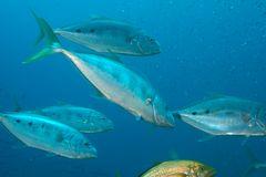 Makrelen bei der Jagd