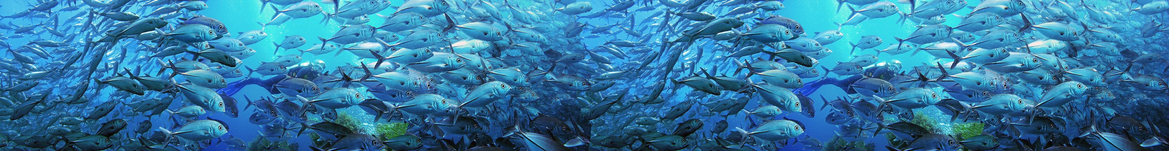 Makrelenschwarm Indischer Ozean