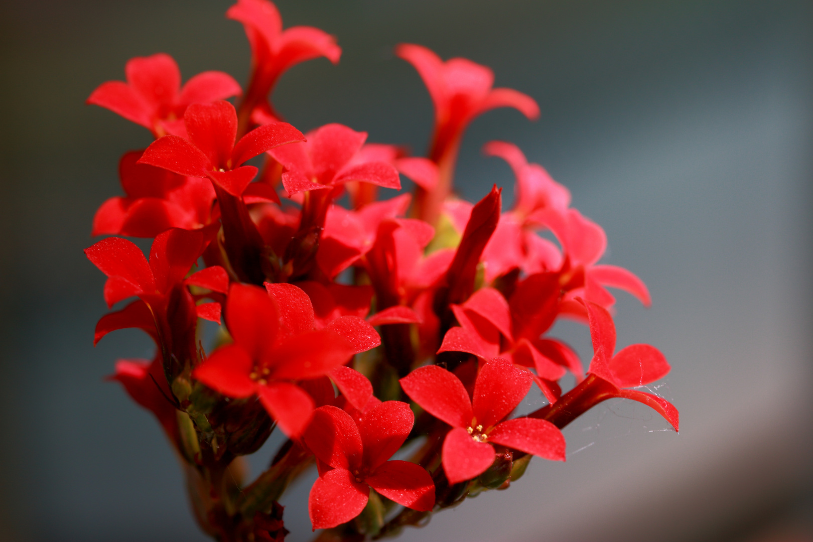 Makro Blume Flammende Käthe