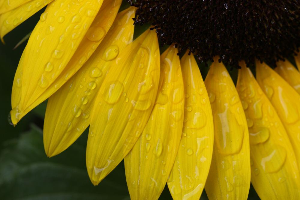 Makro Sonnenblume im Regen