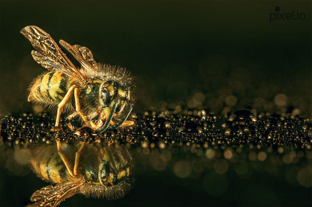 Makro Syrphidae