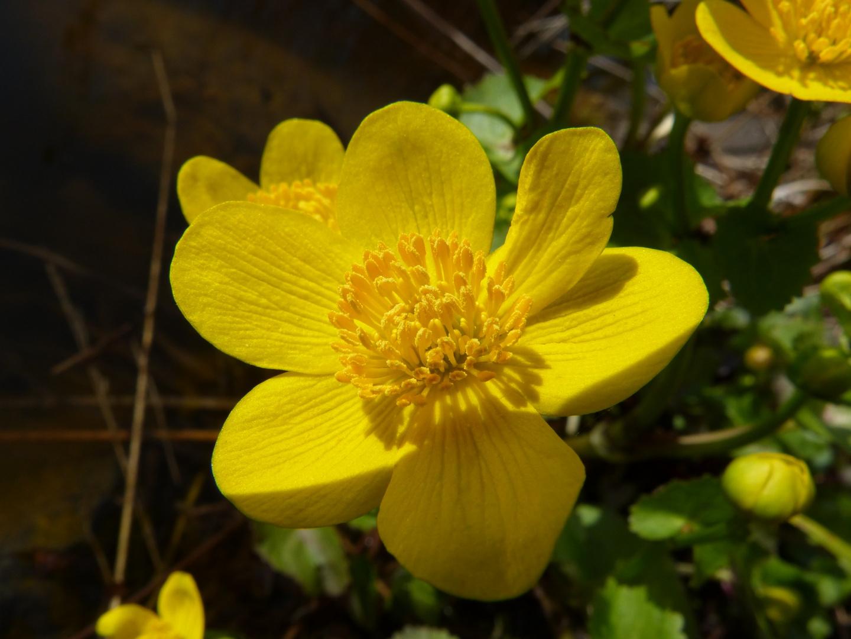 Makroaufnahme von Butterblumenblüte in der Sonne