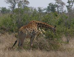 Makutsi Farm Giraffe