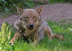 Mal wieder ein Wolf