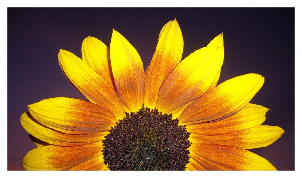 Mal wieder eine Sonnenblume
