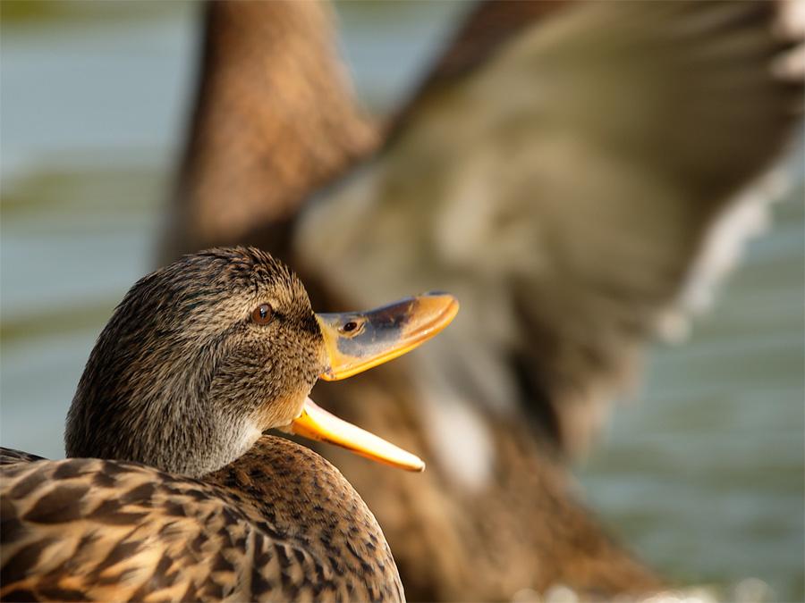 mal wieder 'ne Ente