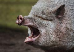 Mal wieder Schwein gehabt ....