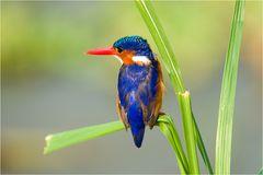 Malachite-Kingfisher